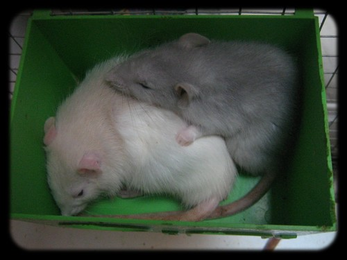 Les rateries MDT mordu de rats et ATR les Aristoc'Rats Index du Forum